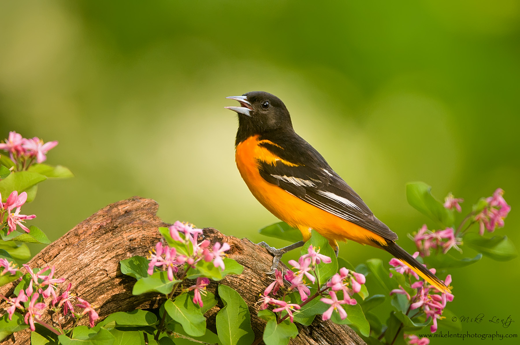 Baltimore Oriole sings in flowers