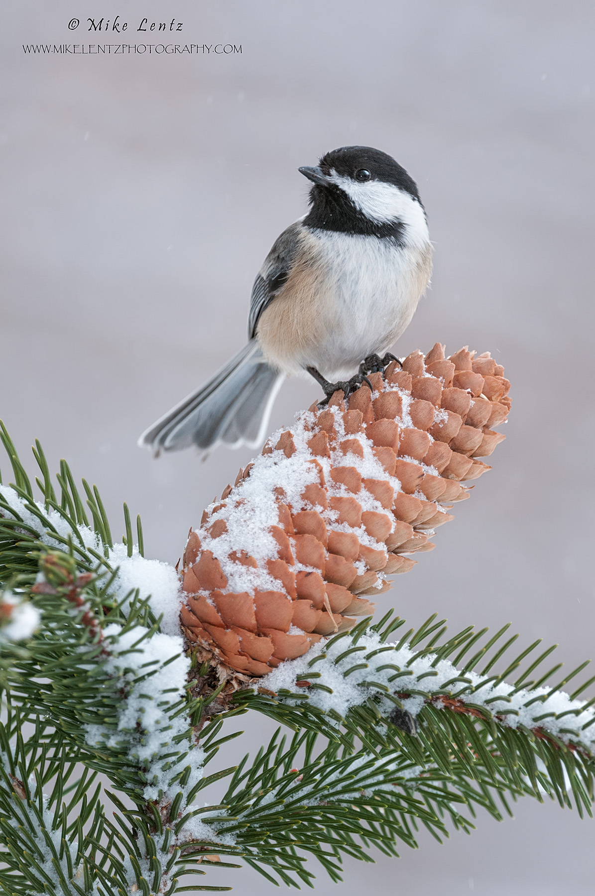 Black capped chickadee on large pine cone