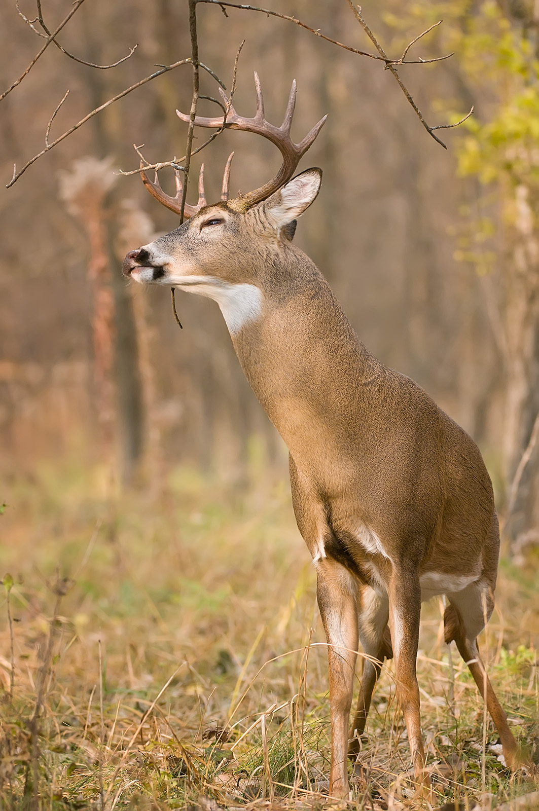 14 point buck scrapes upward SLIDESHOW