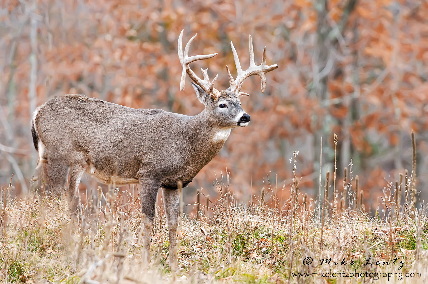 22 pt buck emerges from left BLU