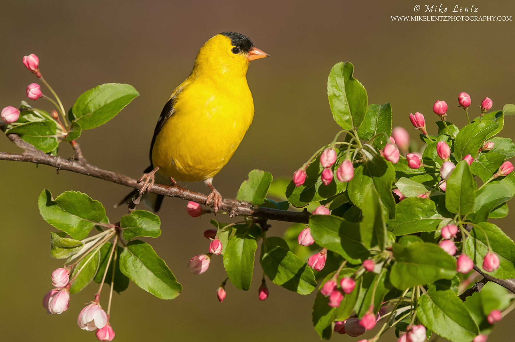 American Goldfinch in crabapple blooms