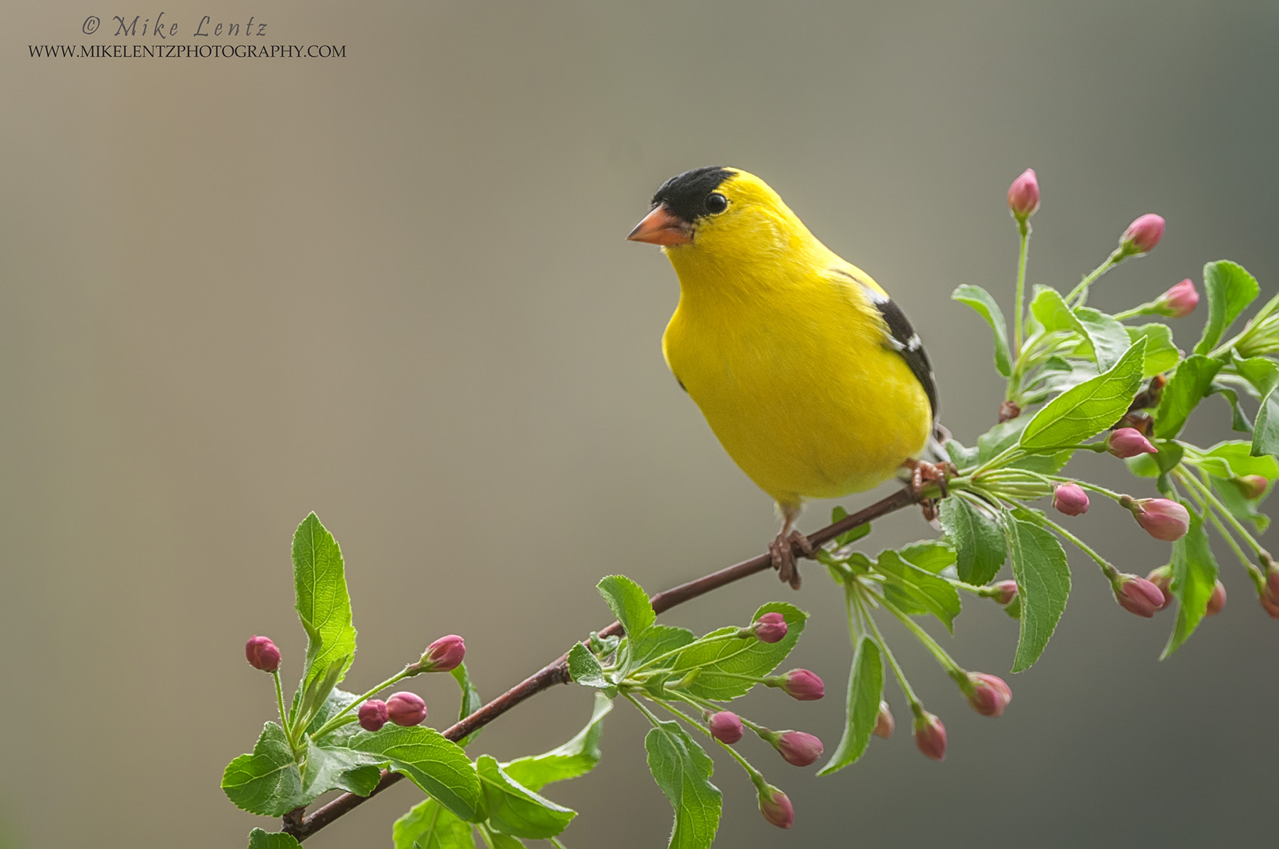 American Goldfinch on buds