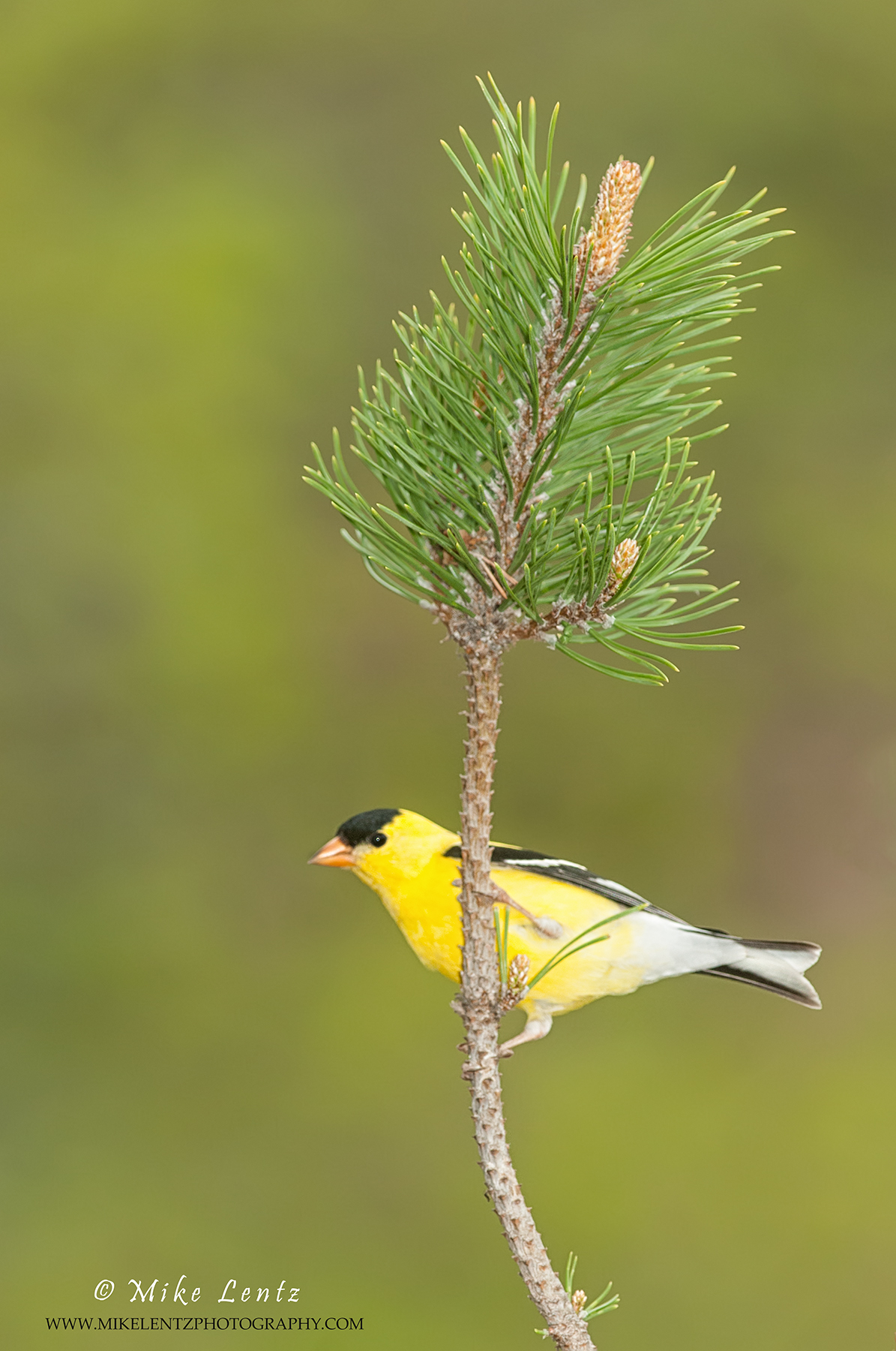 American Goldfinch on pines