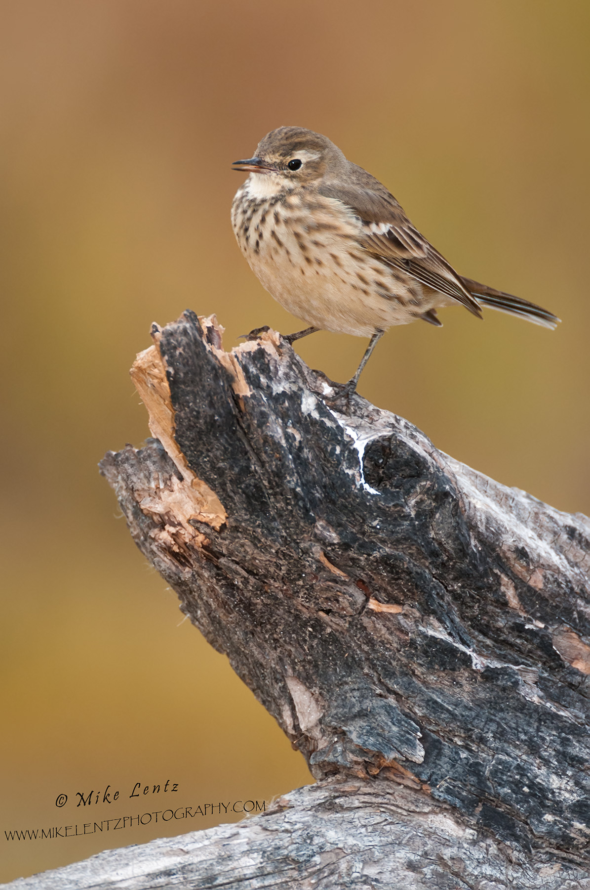 American Pipit verticle on log