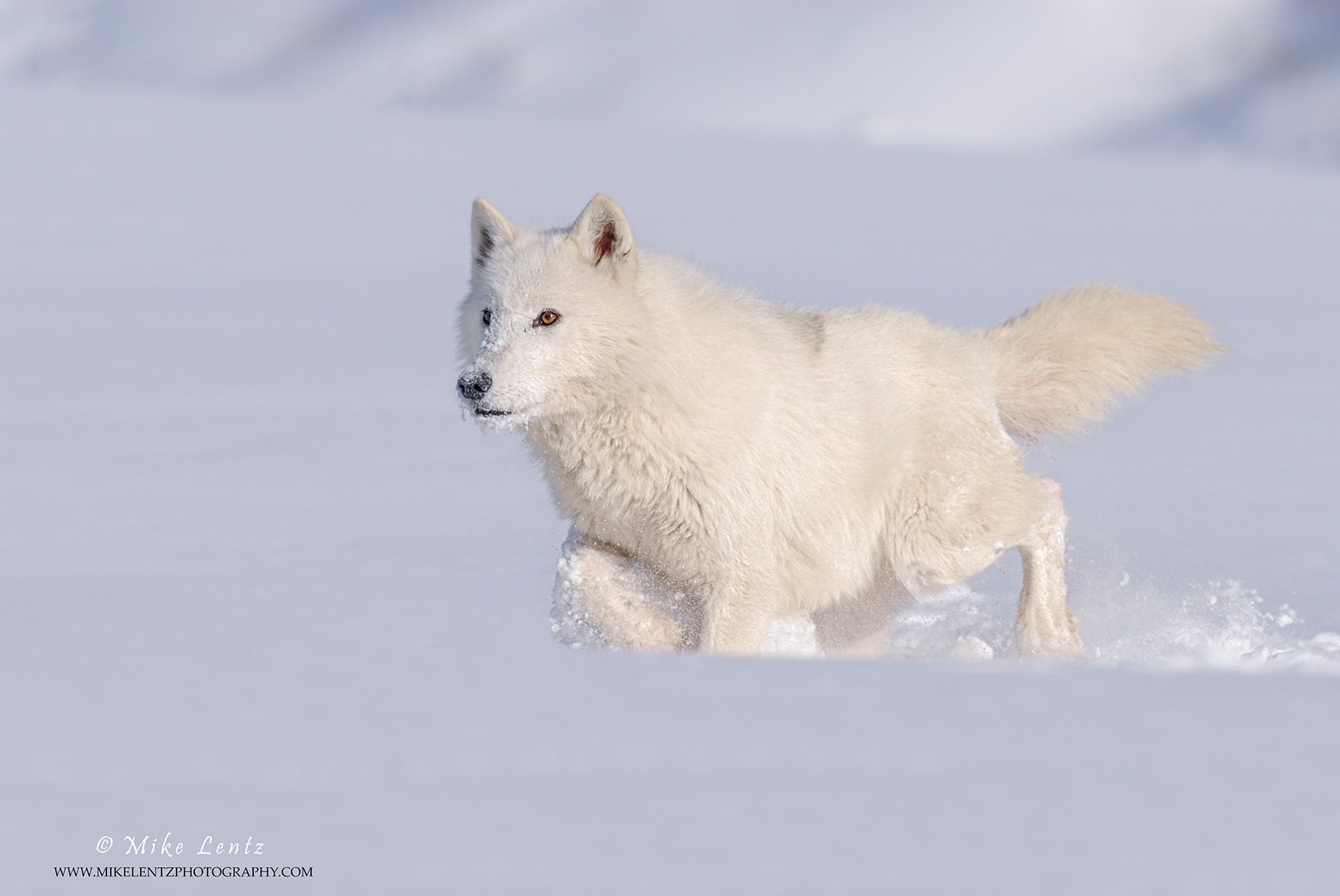 Arctic Wolf on the move
