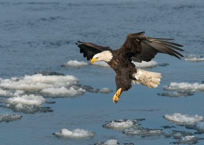 Bald Eagle floating over ice patches