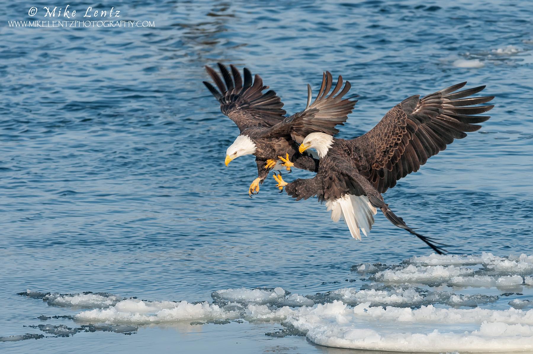 Bald eagle double take