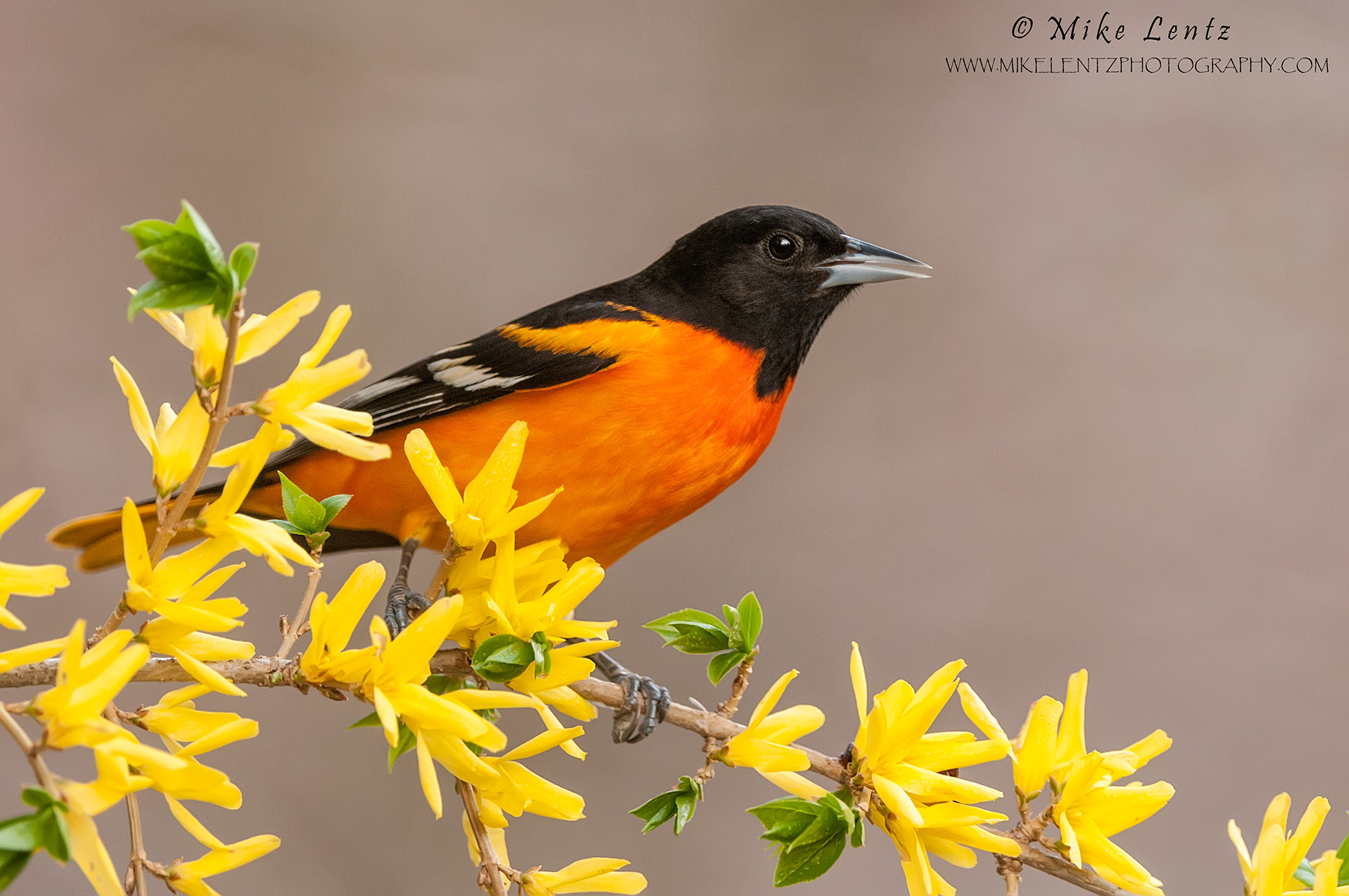 Baltimore Oriole on Forsynthia