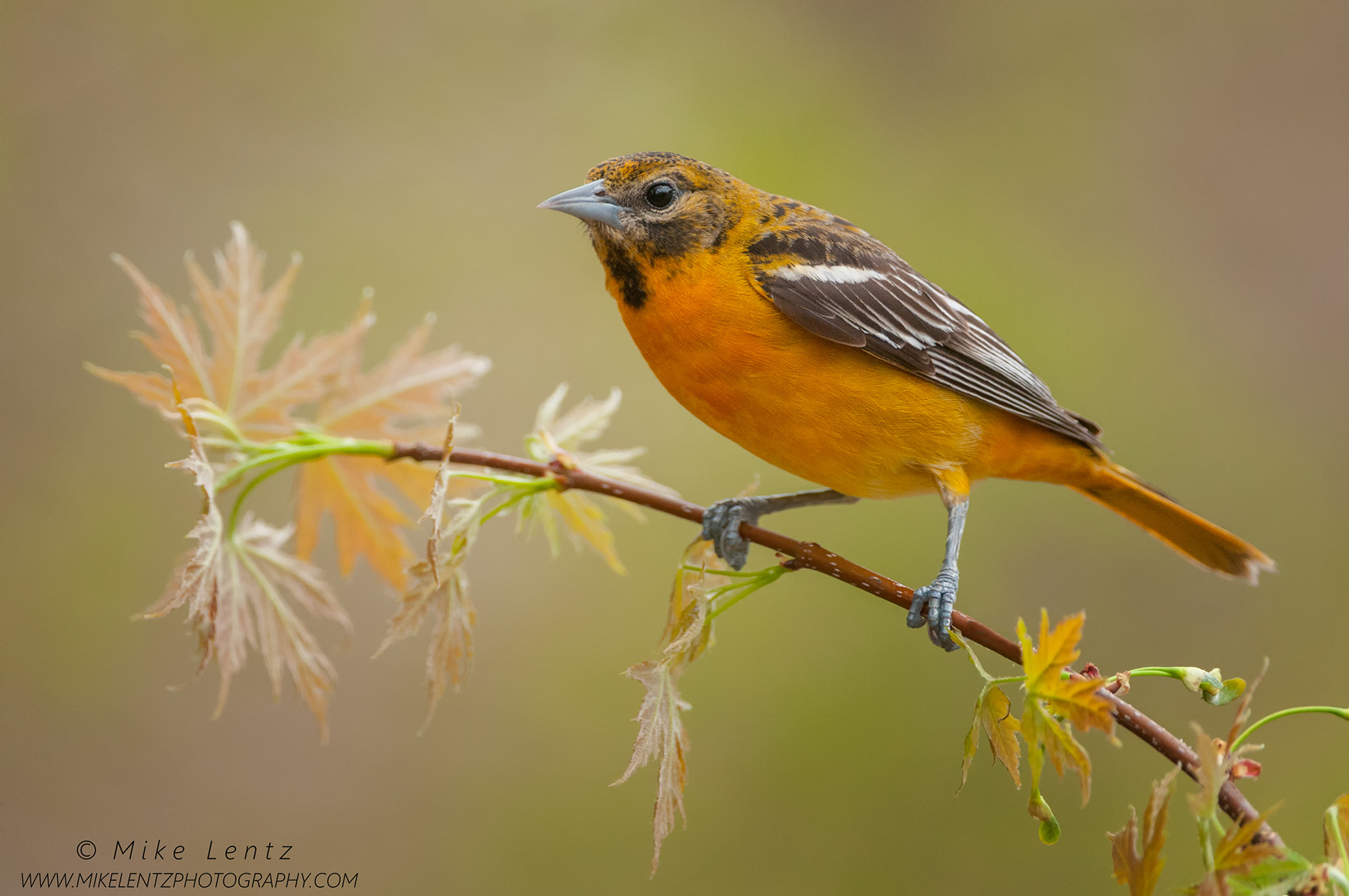 Baltimore Oriole on emerging Elm branchPS2