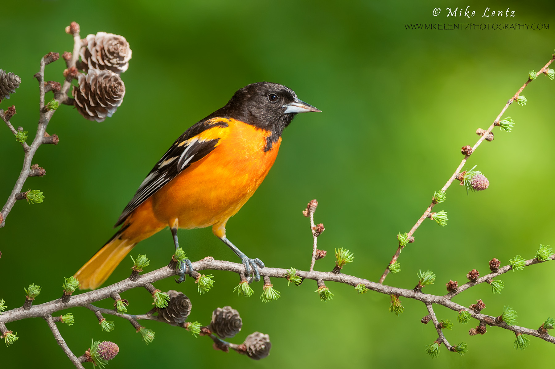 Baltimore Oriole on emerging buds