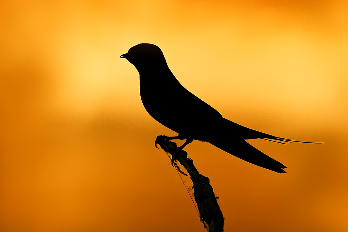 Barn Swallow silhouette sunset sky SLIDESHOW