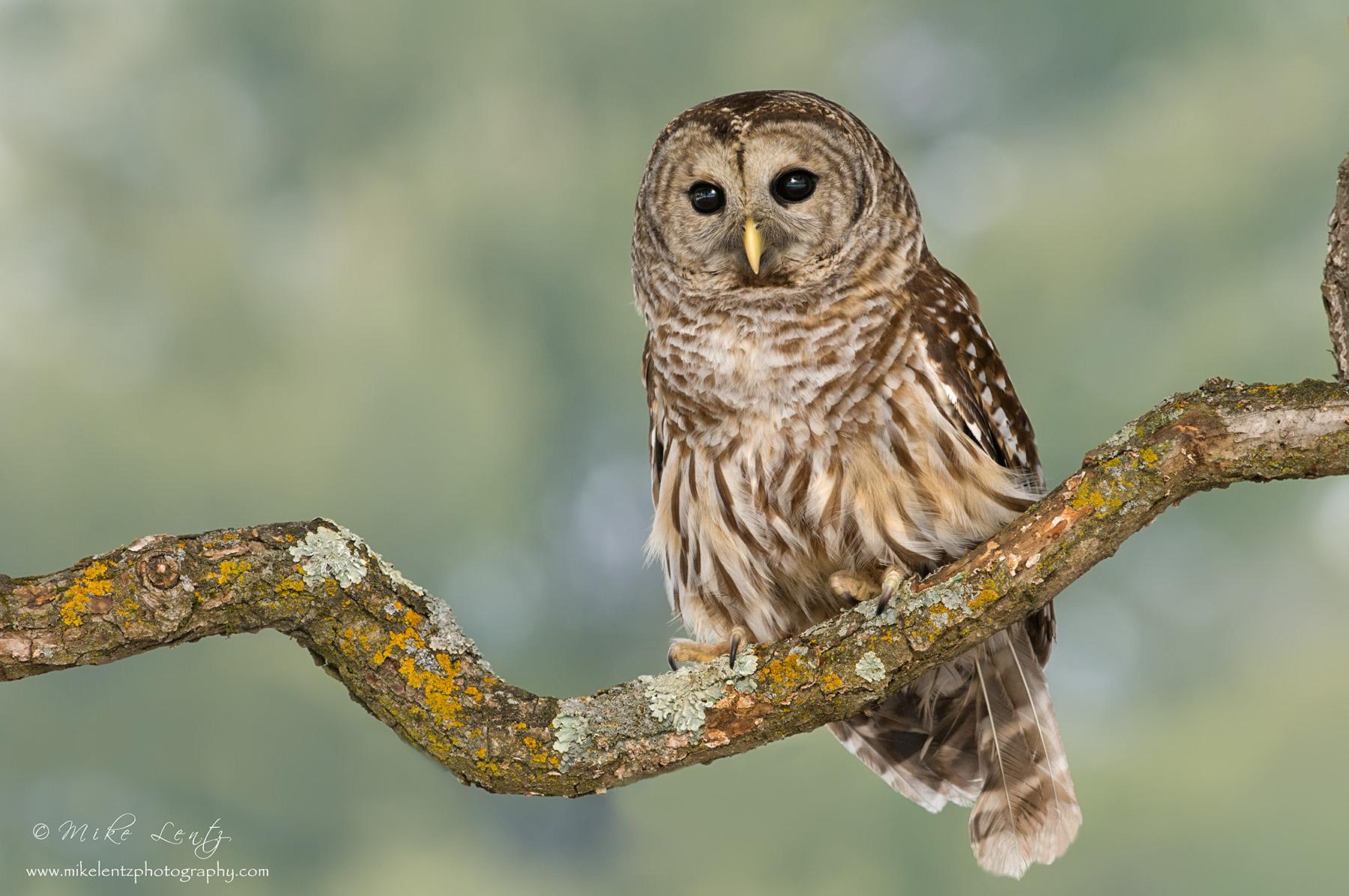 Barred Owl green BG