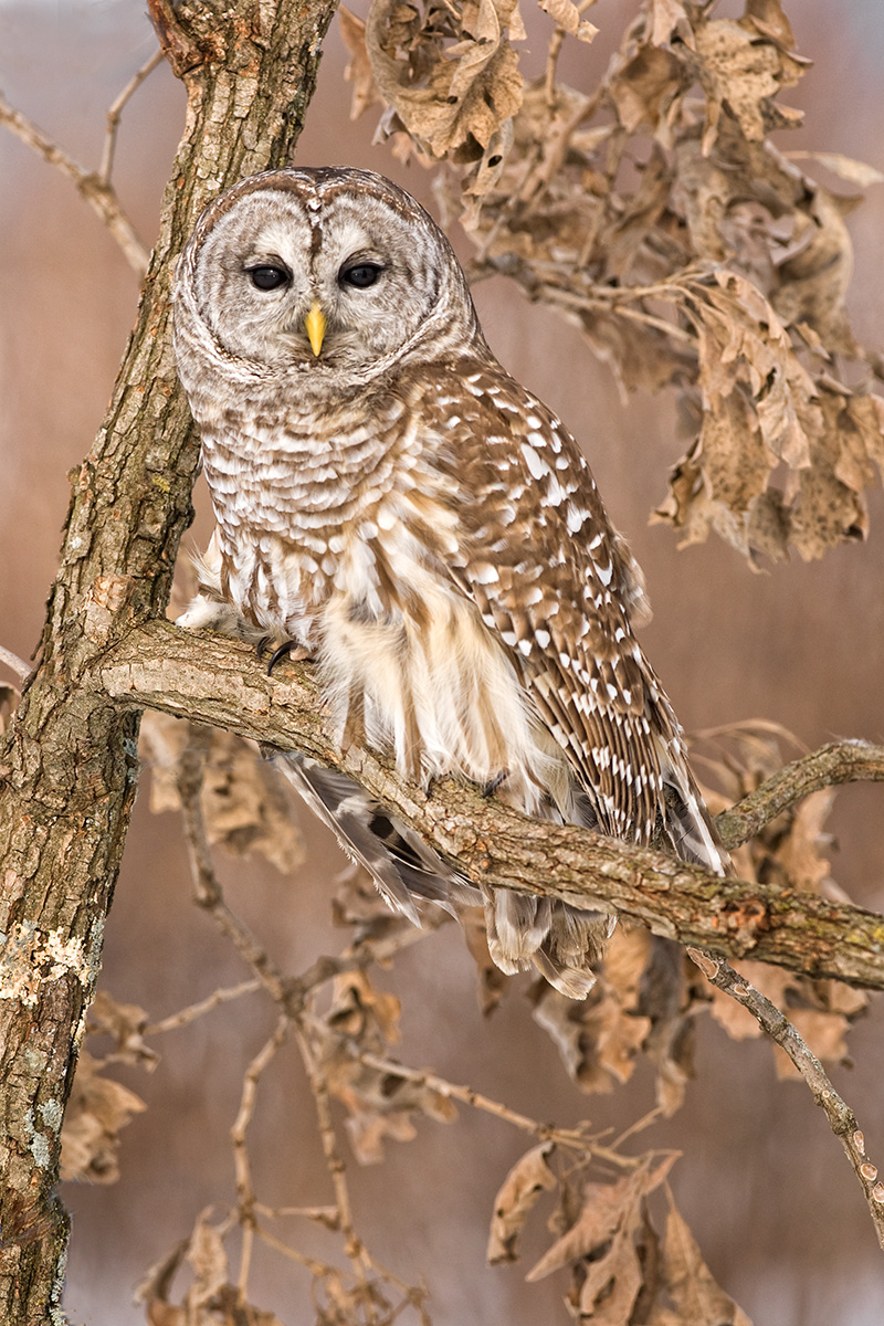 Barred Owl in Oak tree SLIDESHOW