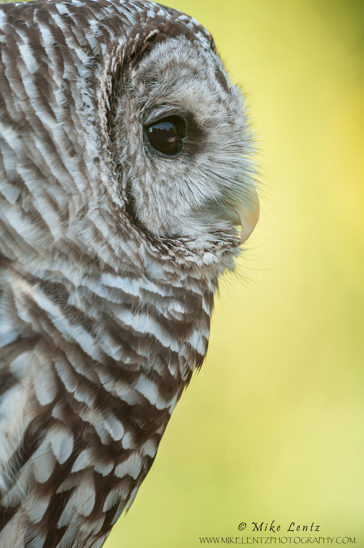 Barred Owl verticle headshot