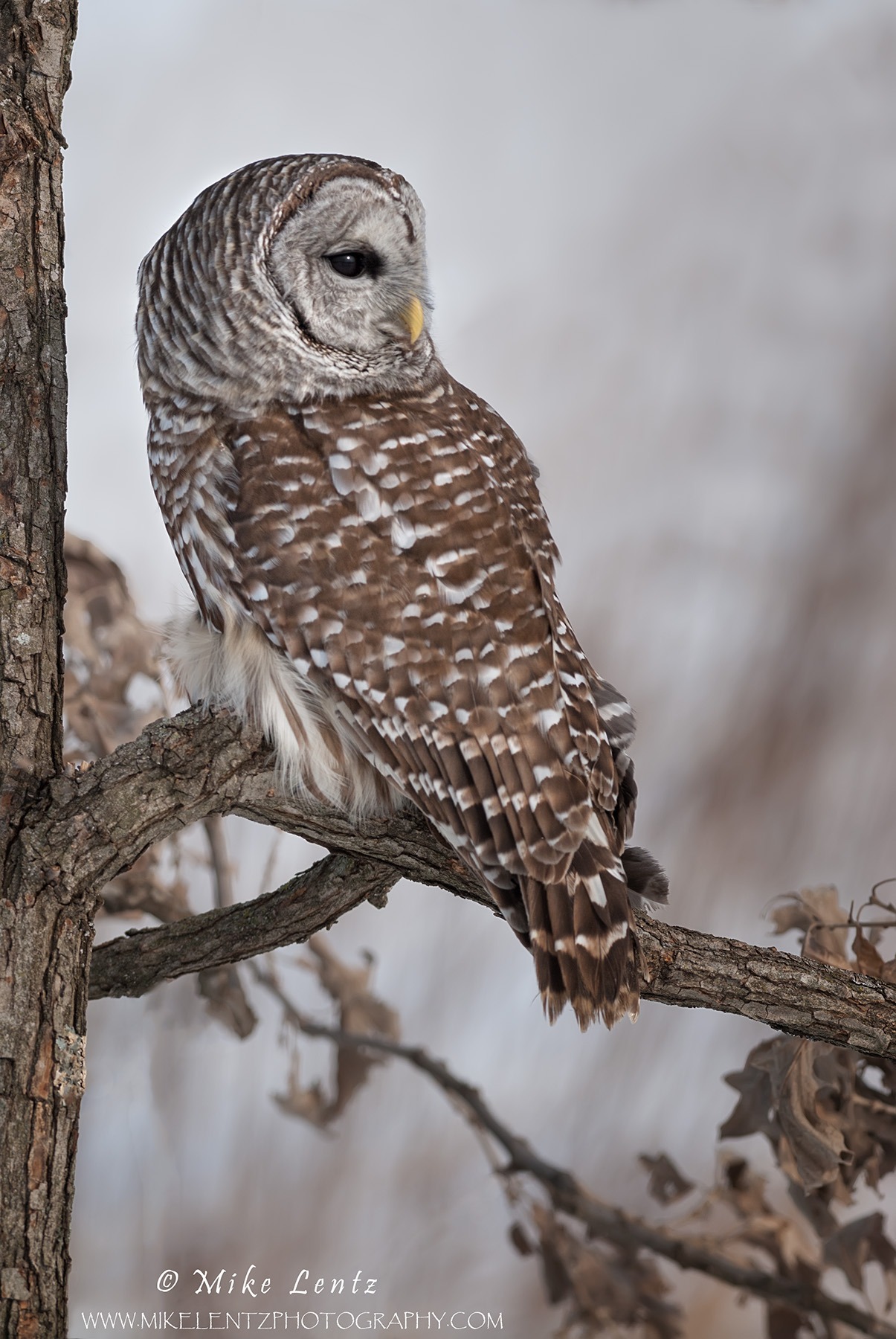 Barred owl stares away in Oak tree