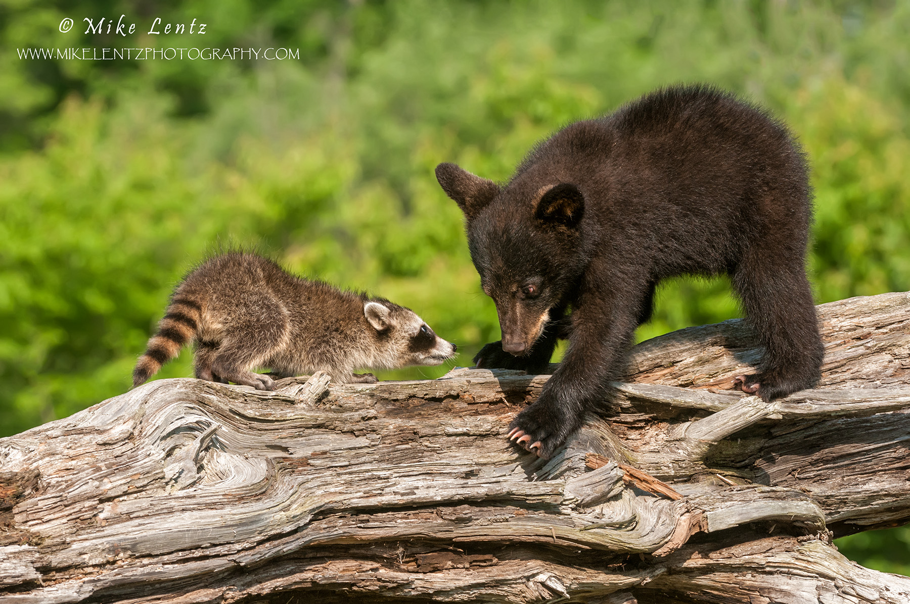 Baby Bear cub encounters a young Racoon