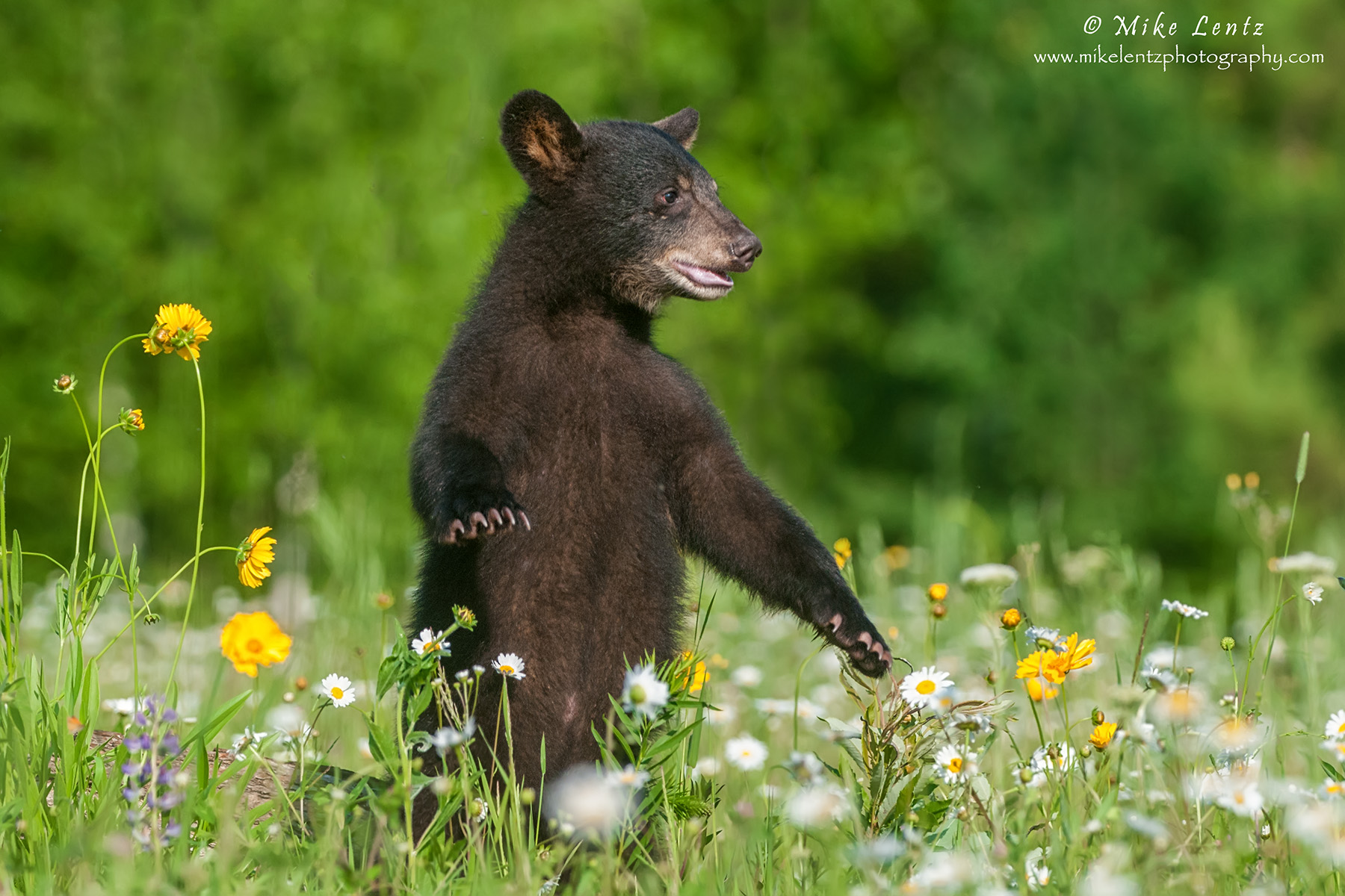 Bear cub upright in flowers