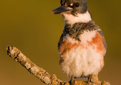 Belted Kingfisher FM verticle grin