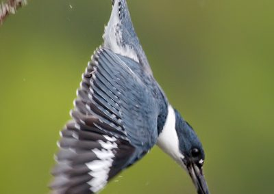 Belted Kingfisher dives PS