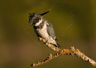 Belted Kingfisher male head shake 360 PS