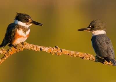 Belted Kingfisher pair on branch