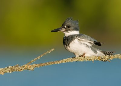 Belted Kingfisher sideways on lichen