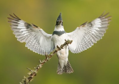 Belted Kingfisher wide open PS
