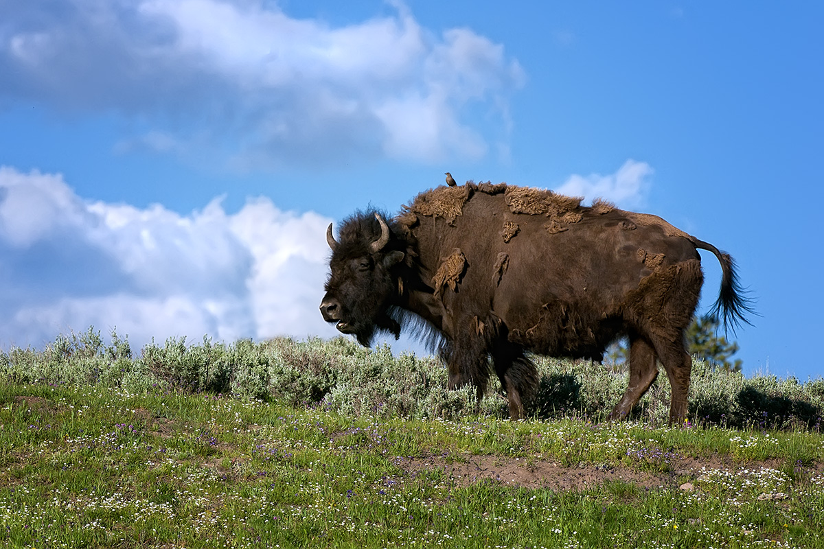 Bison clouds SLIDESHOW