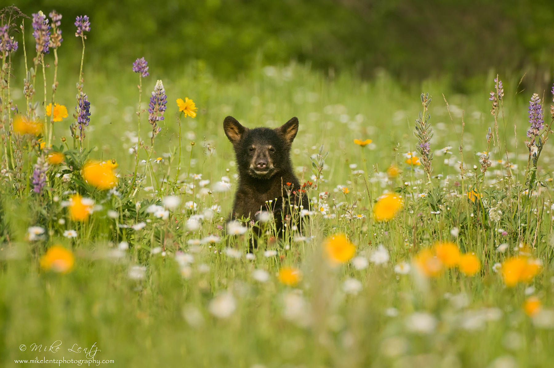 Black Bear Cub in field of flowers BD