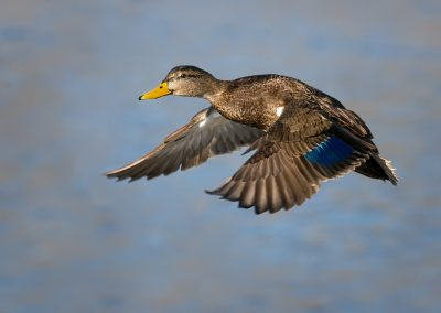Black Duck in flight PS