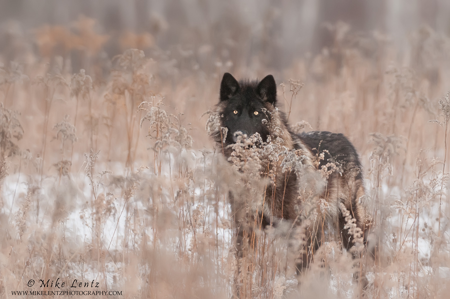 Black Wolf behind grasses