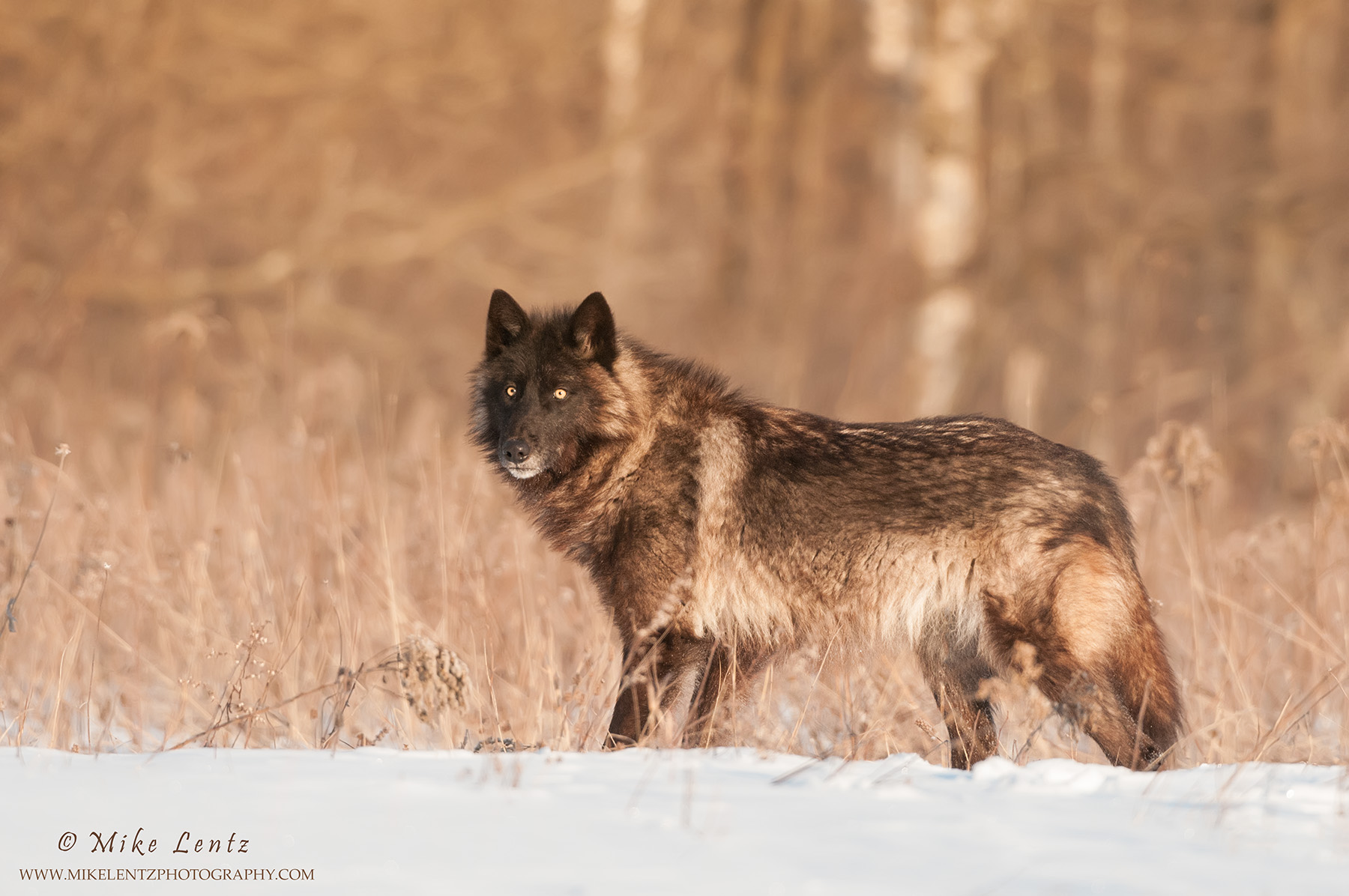 Black Wolf in field