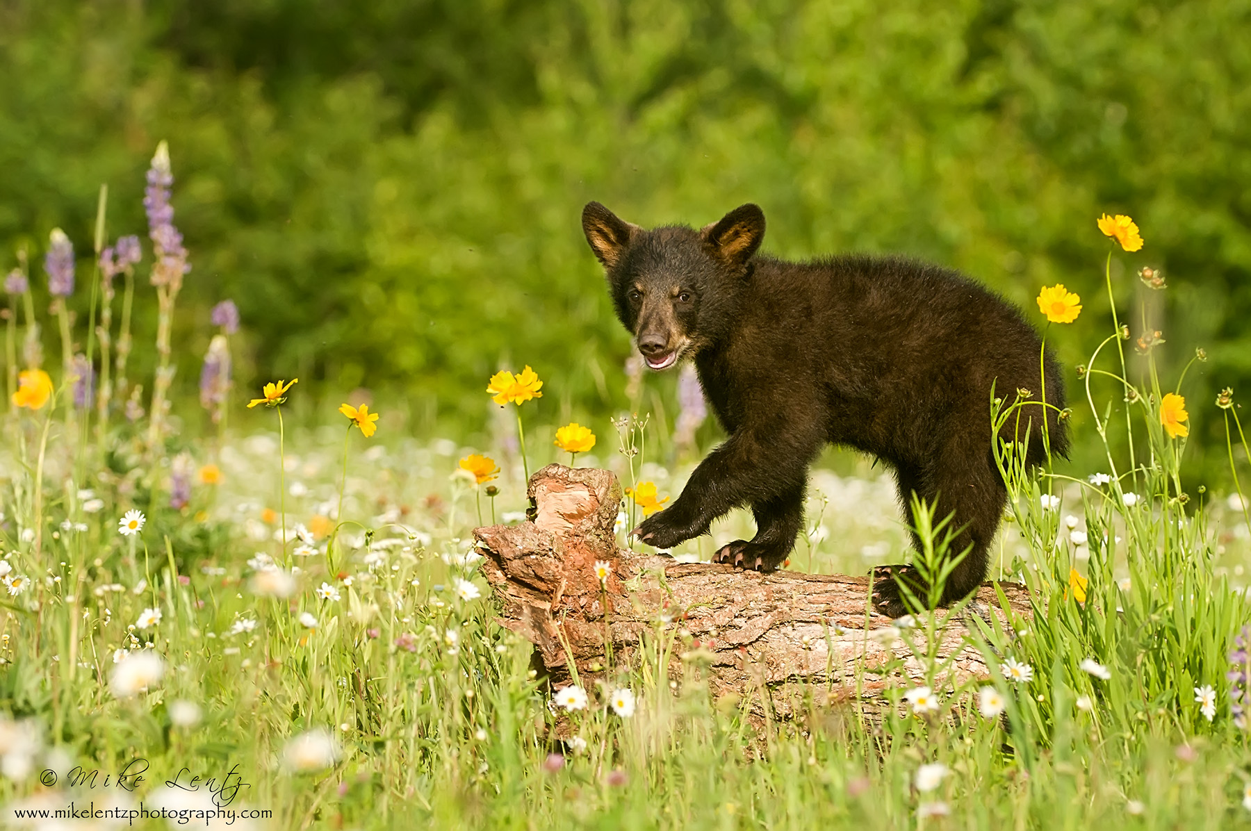 Black bear cub on log