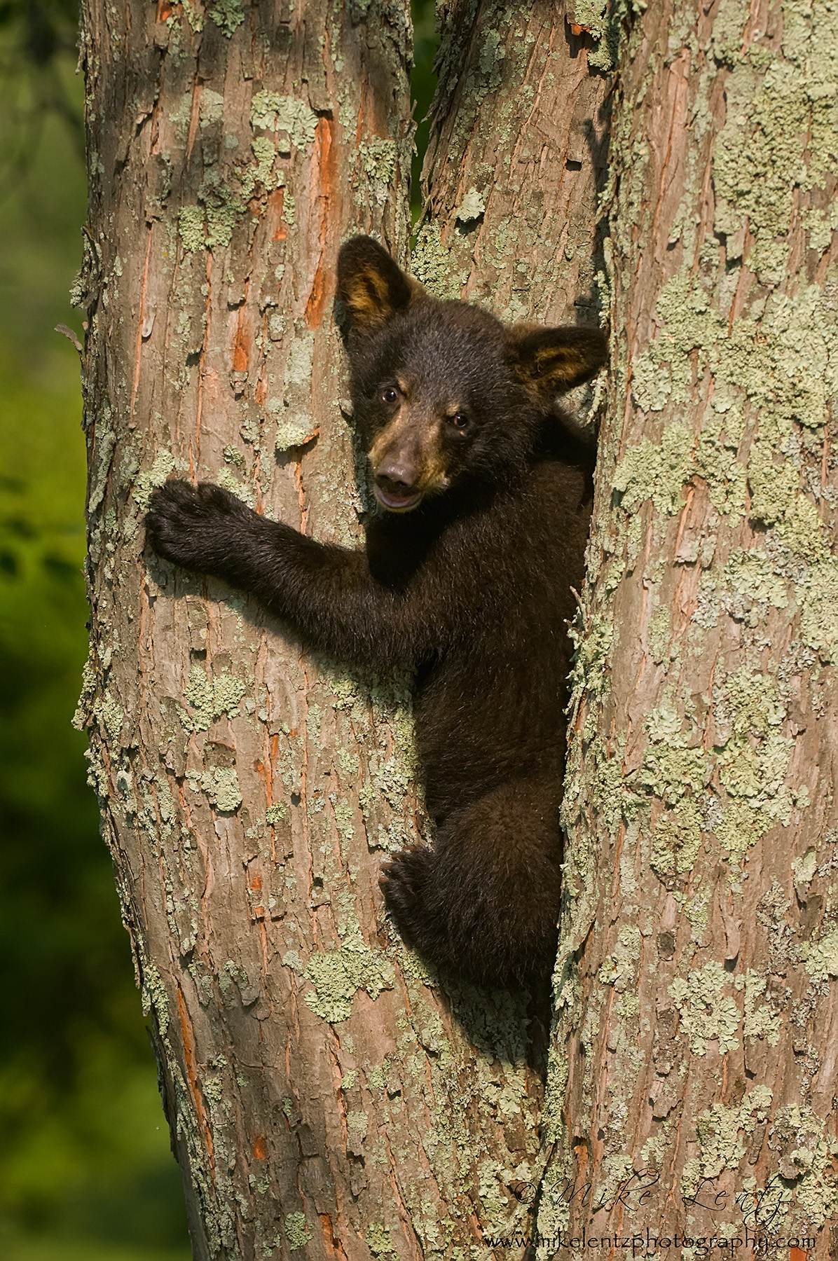 Black bear cub up lichen tree