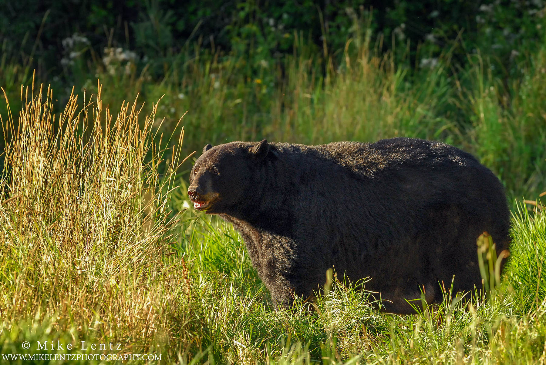 Black bear in field grassesps2
