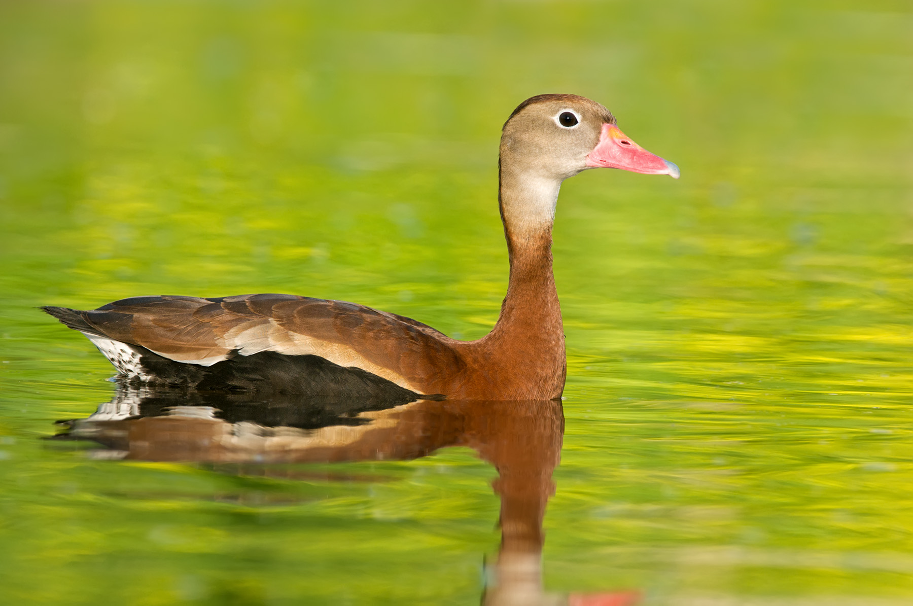 Black bellied whistling duck slideshow