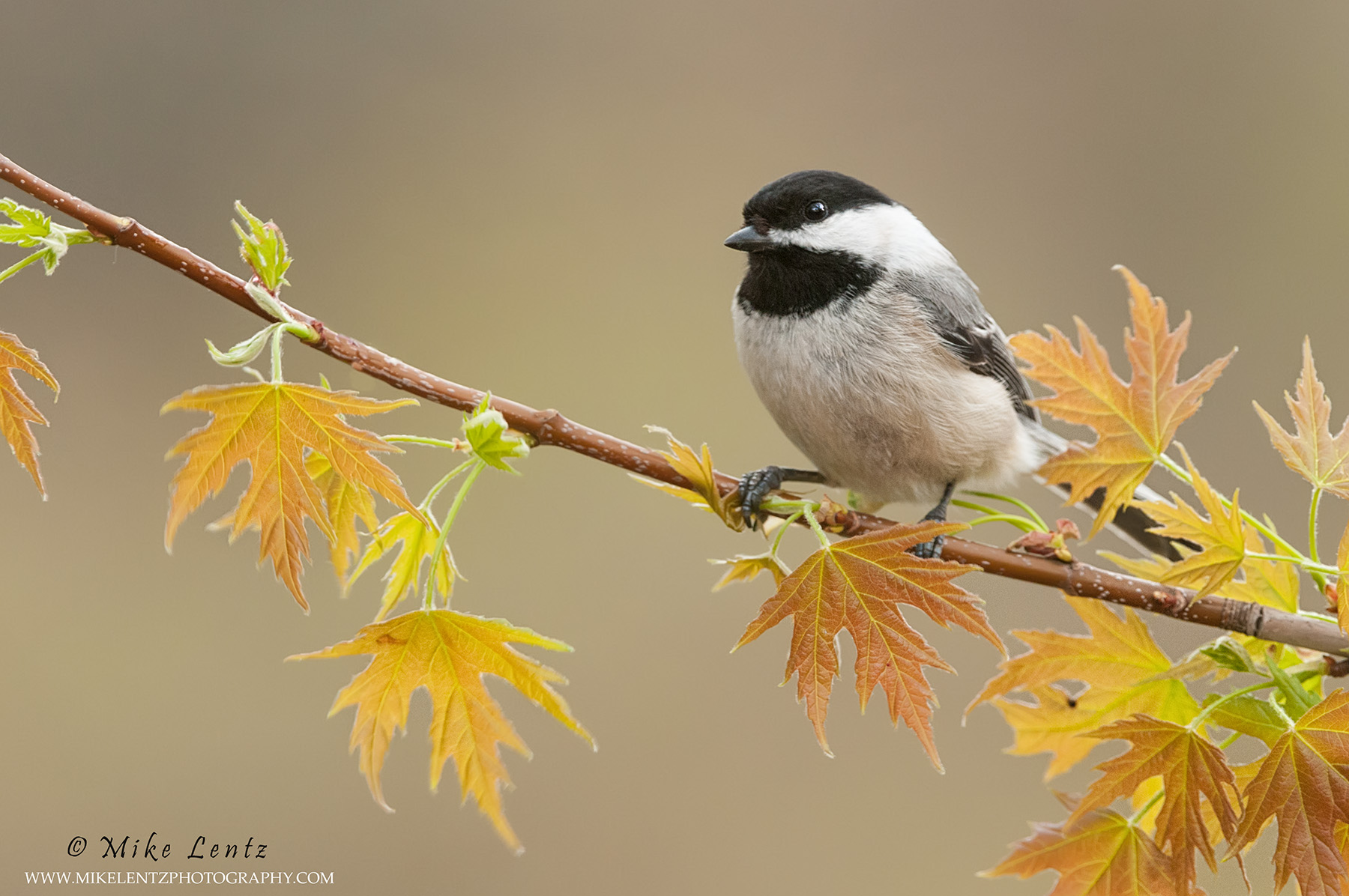 Black capped chickadee on Maple growth