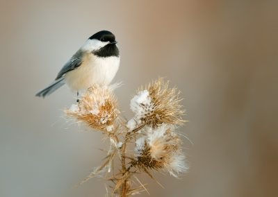 Black capped chickadee on winter thistle