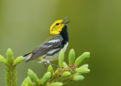 Black throated green warbler sings on pine