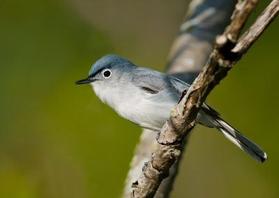 Blue Gray Gnatcatcher in thick stuff