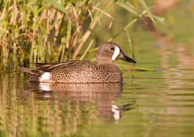 Blue Winged teal in weeds