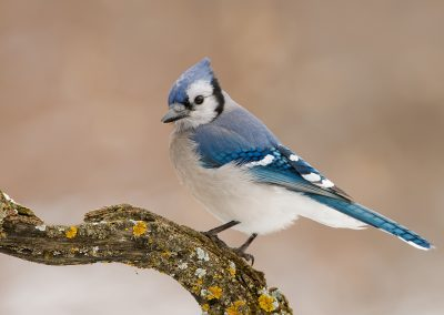Blue jay on curved lichen branch