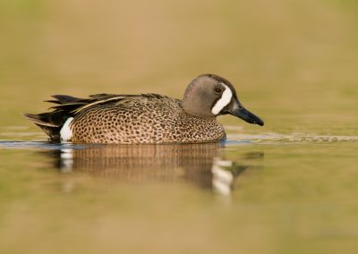 Blue wing teal drake on green glass