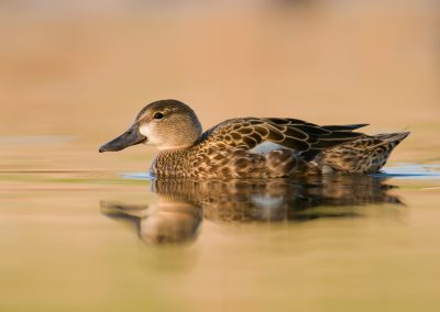 Blue wing teal hen on gold glass