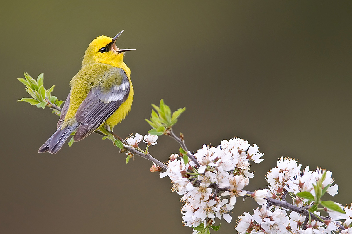 Blue wing warbler sings on white flowers SLIDESHOW