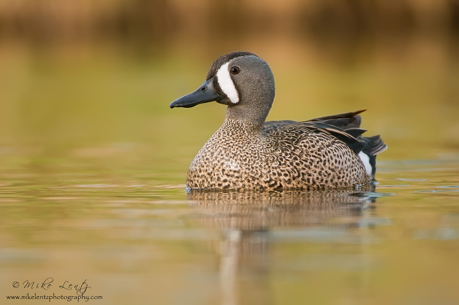 Blue winged teal colorful