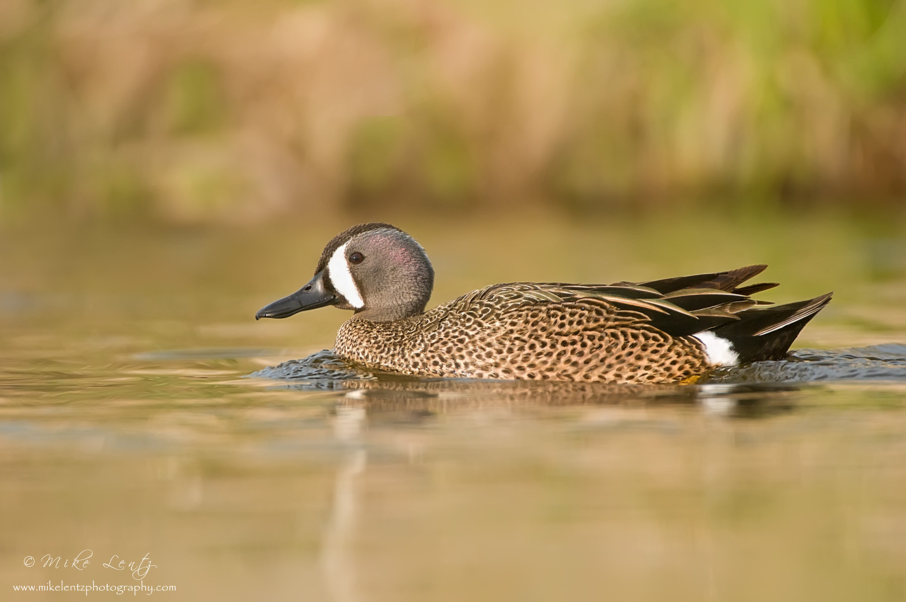 Blue-winged teal drake portrait