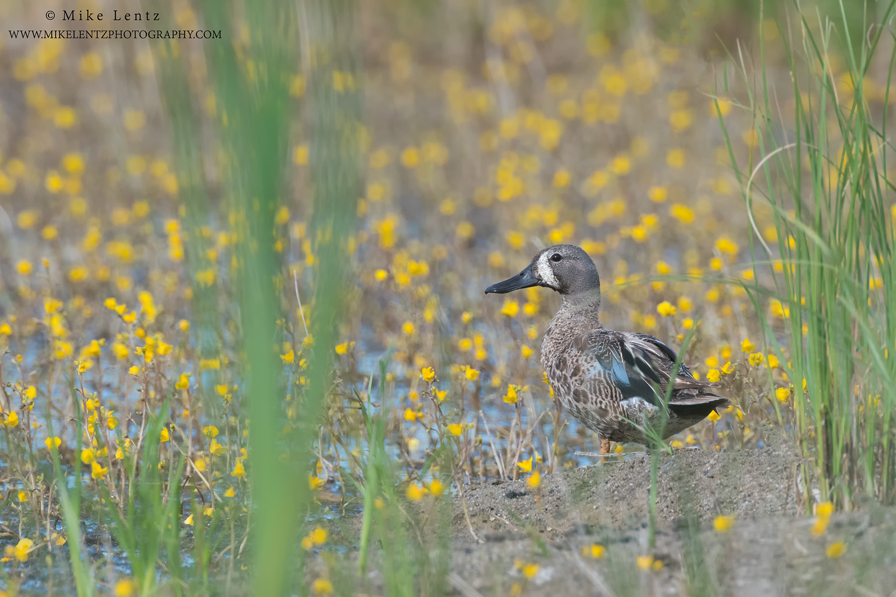 Blue-winged teal in yellow swamp flowersPS2