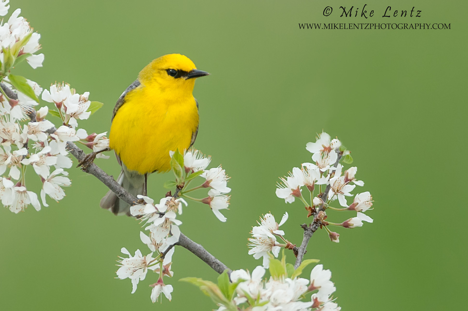 Blue winged warbler on flower buds