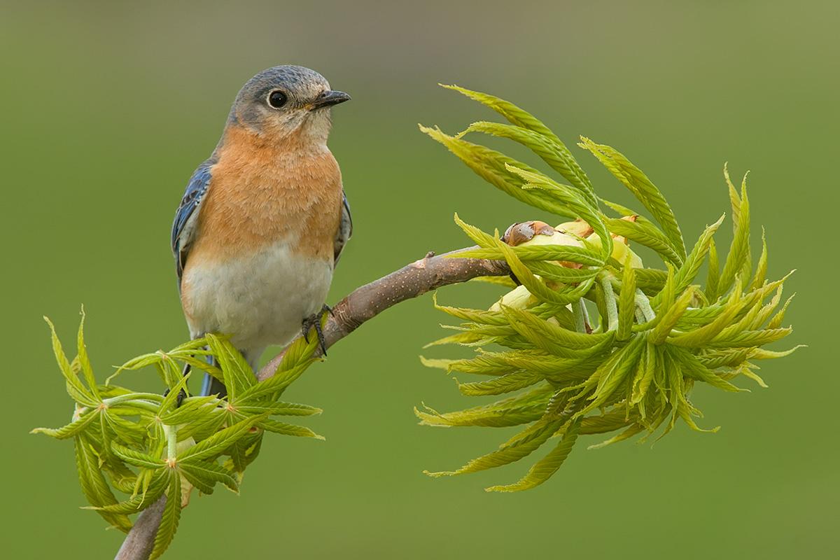 Eastern Bluebird female.